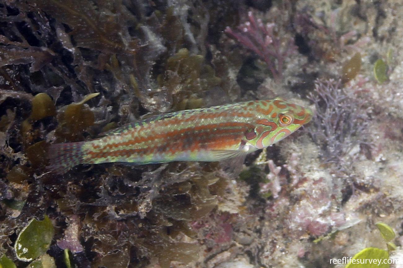 Halichoeres miniatus, Male, Great Barrier Reef, Australia,  Photo: Ian Shaw