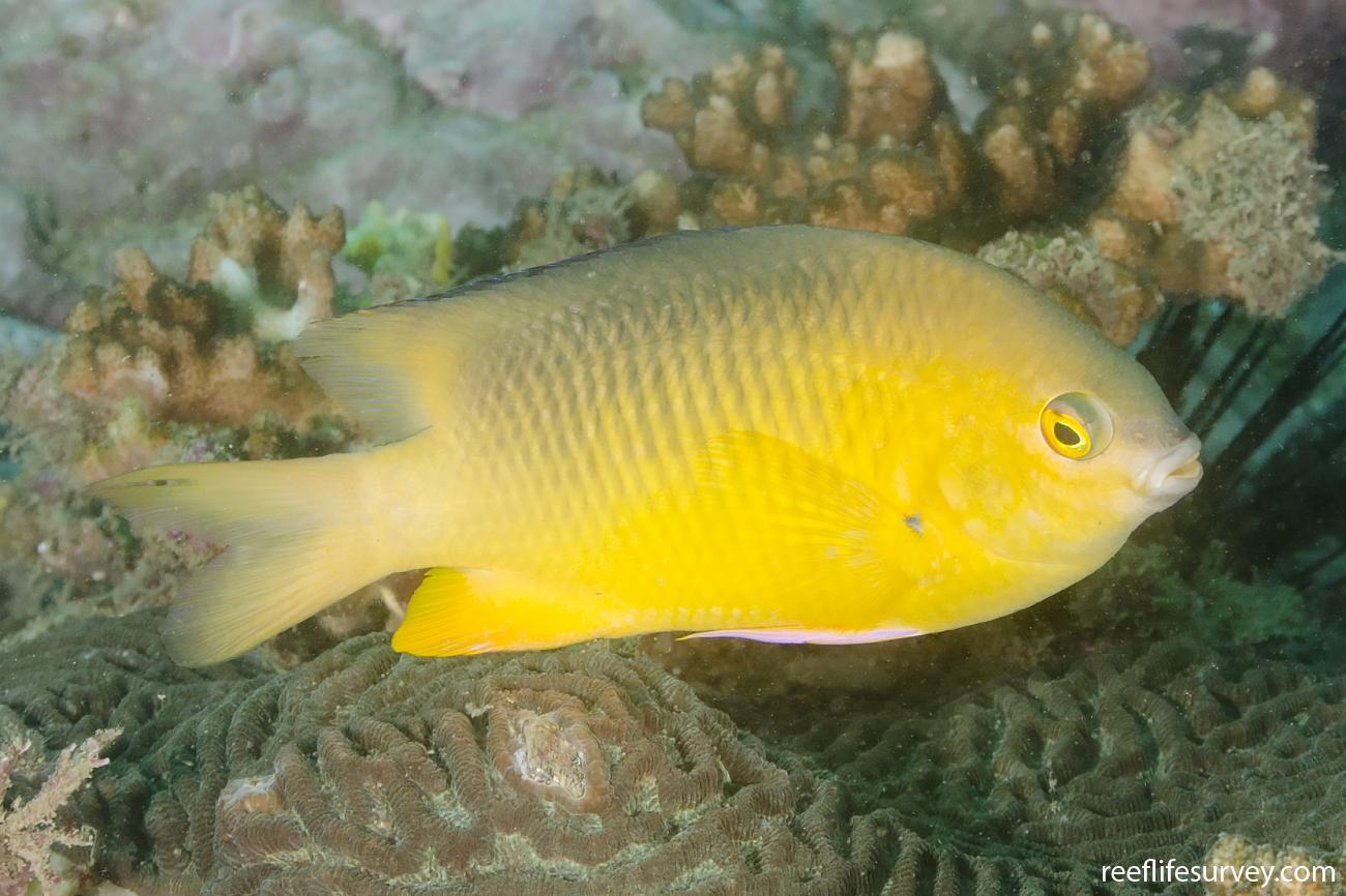 Stegastes gascoynei, Adult, Yellow form, NSW, Australia,  Photo: Ian Shaw