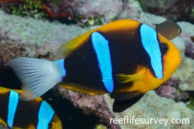 Amphiprion chrysopterus: Adult.  Photo: Graham Edgar