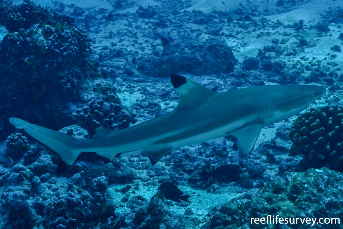 Carcharhinus melanopterus, Adult, French Polynesia,  Photo: Rick Stuart-Smith