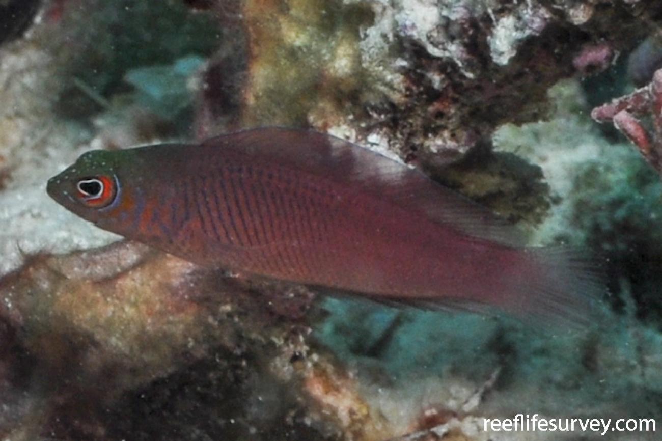 Cypho purpurascens,  Photo: Rick Stuart-Smith