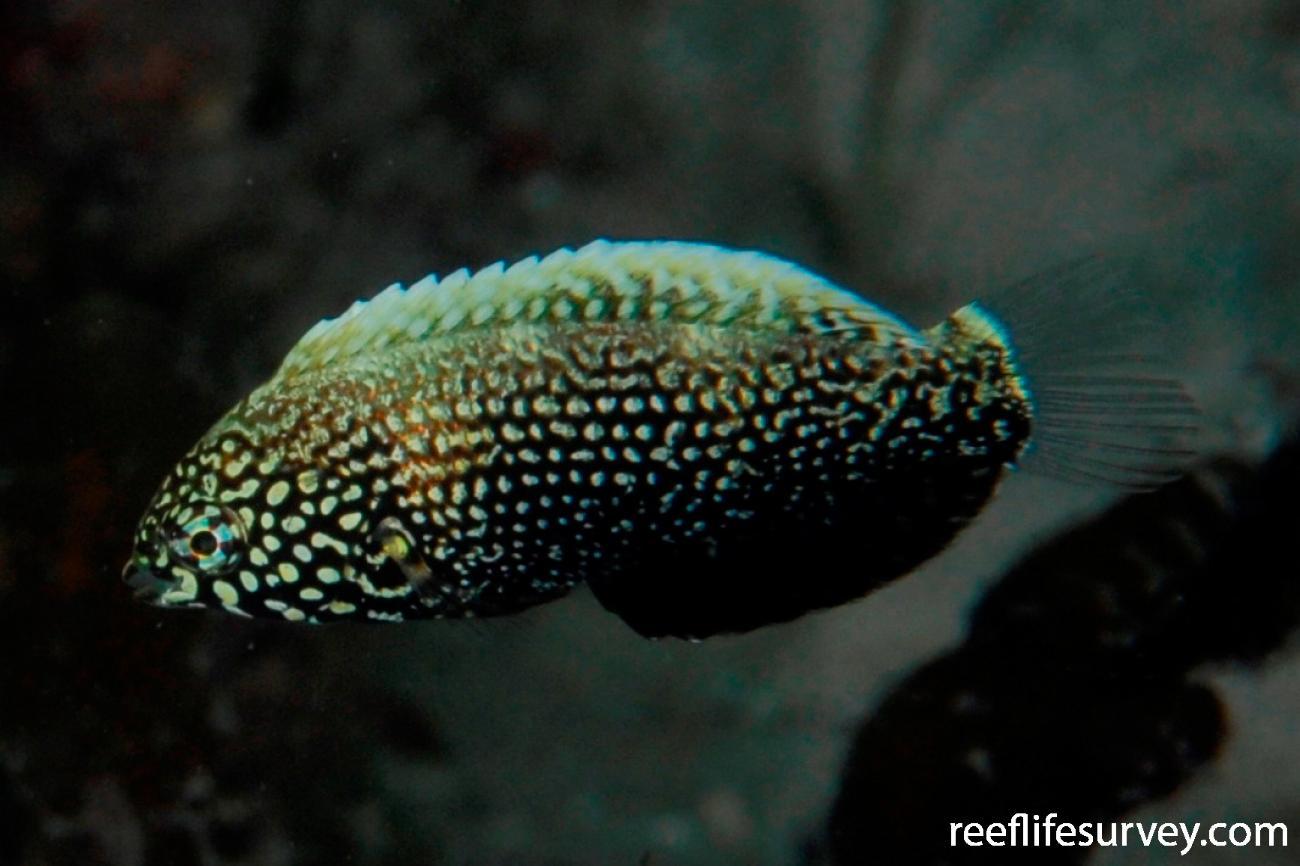 Macropharyngodon negrosensis, NSW, Australia,  Photo: Tom Davis