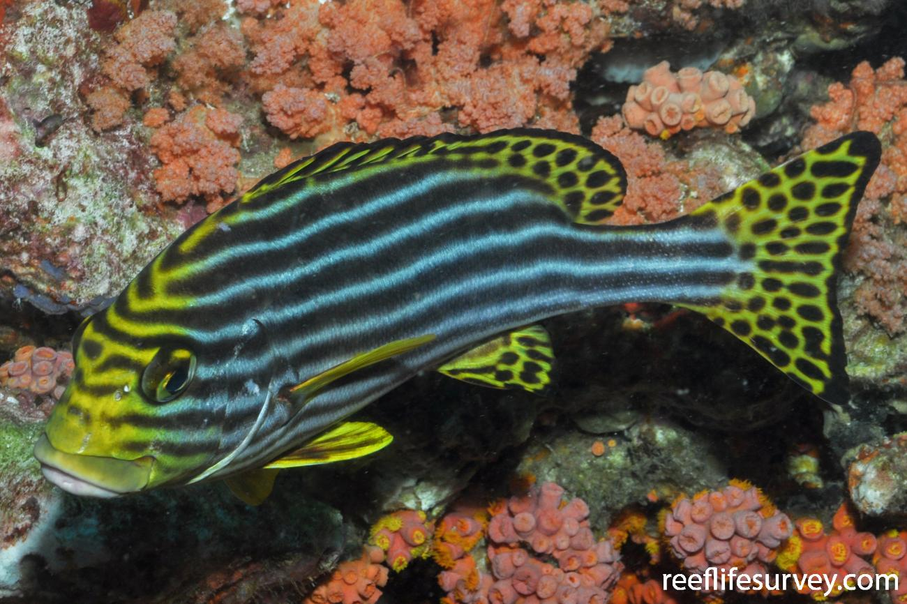 Plectorhinchus vittatus, Adult, Maldives,  Photo: Rick Stuart-Smith