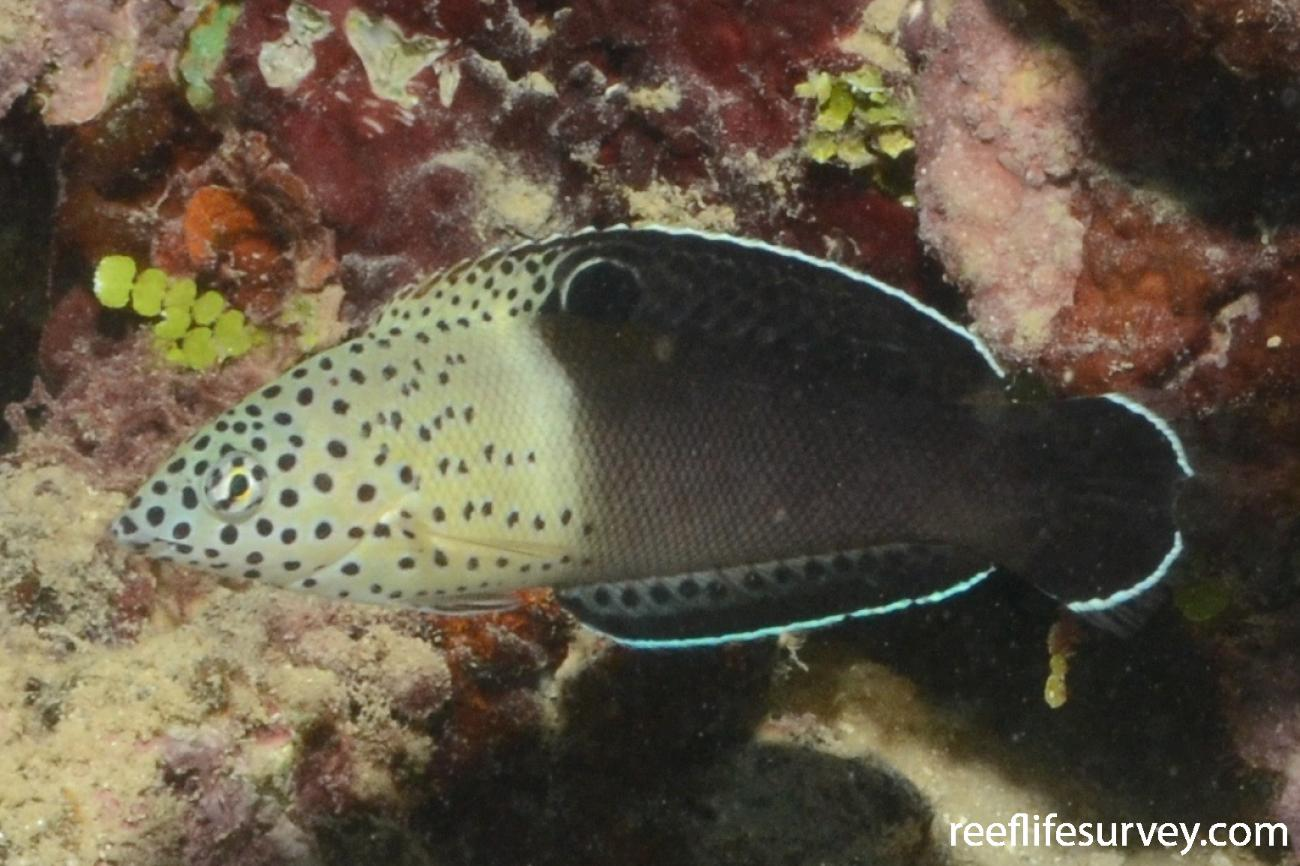 Coris aygula, French Polynesia,  Photo: Graham Edgar