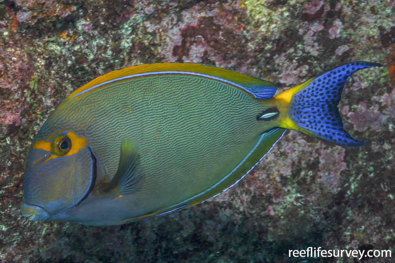 Acanthurus dussumieri, QLD, Australia,  Photo: Rick Stuart-Smith
