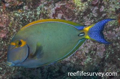 Acanthurus dussumieri: QLD, Australia,  Photo: Rick Stuart-Smith