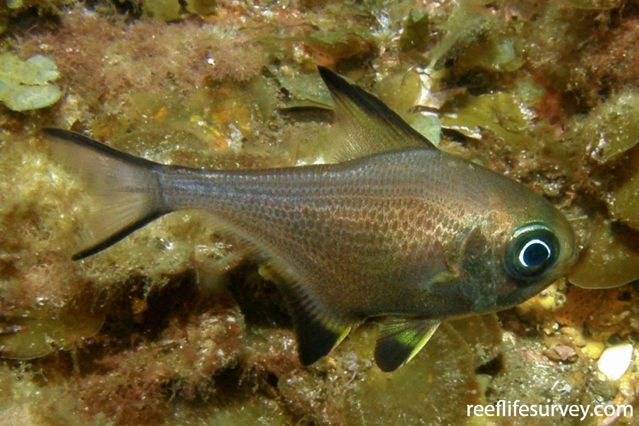 Pempheris multiradiata, Juvenile, Busselton, WA,  Photo: Rick Stuart-Smith