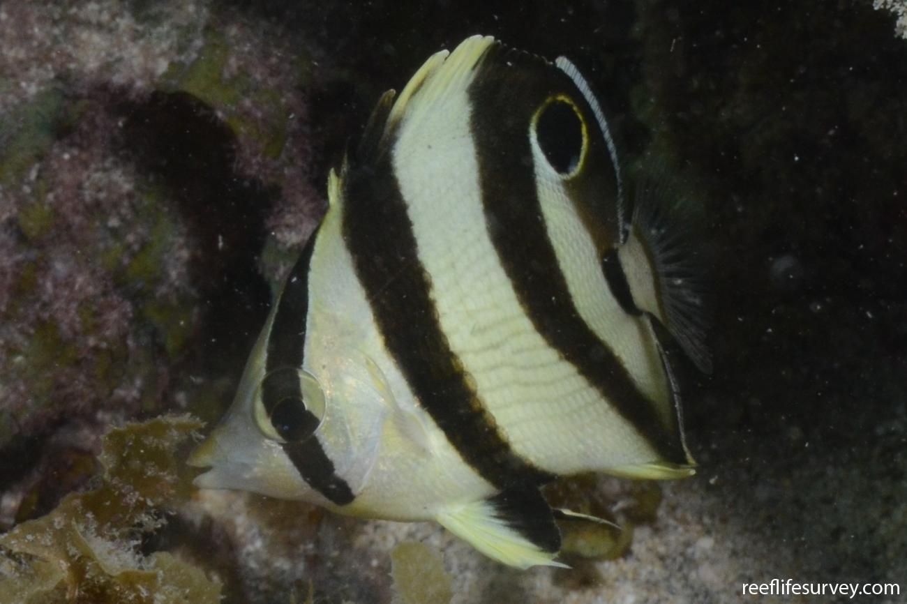 Chaetodon striatus, Juvenile, Abrolhos, Bahia, Brazil,  Photo: Graham Edgar