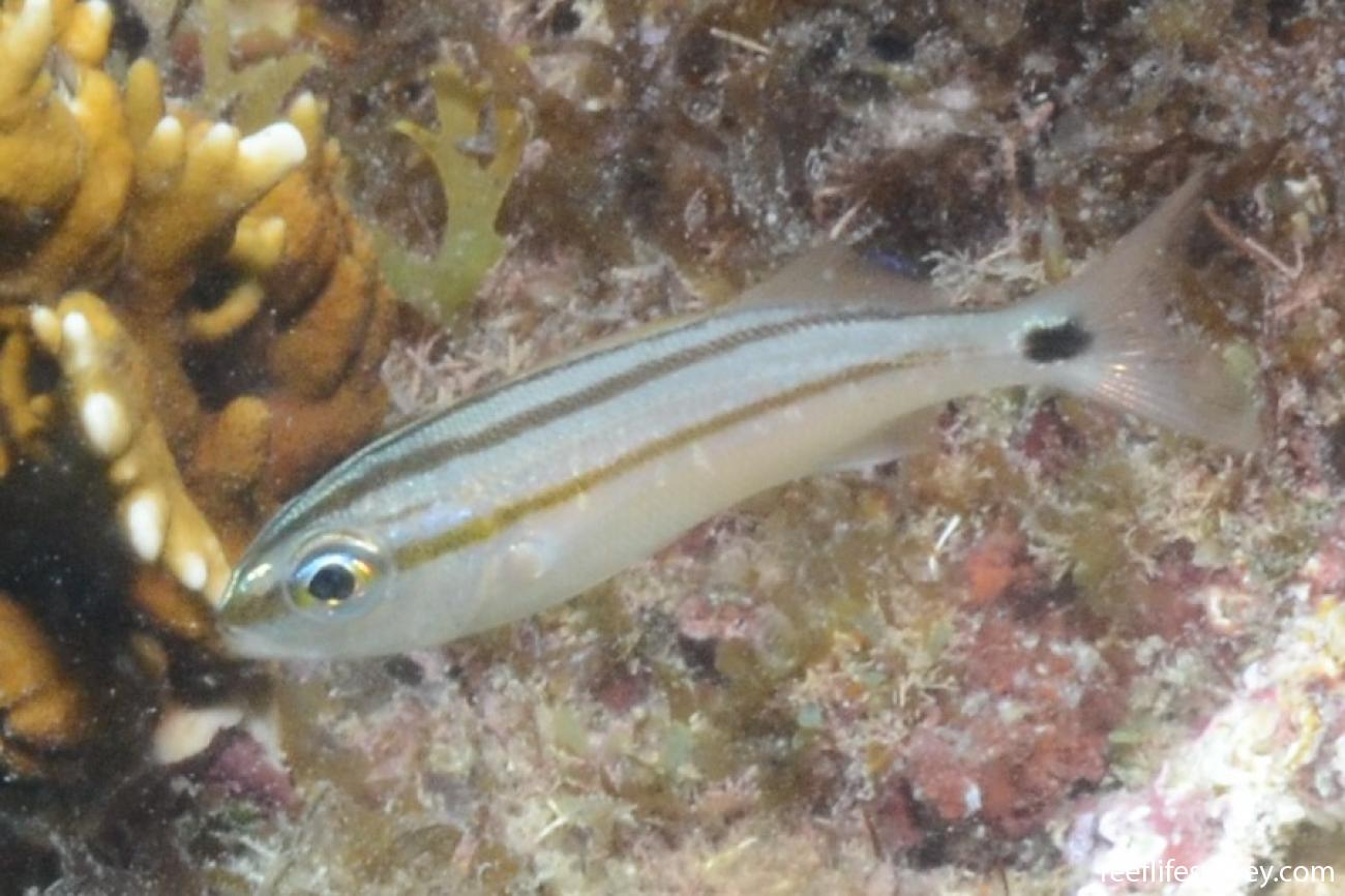 Haemulon aurolineatum, Juvenile, Abrolhos, Bahia, Brazil,  Photo: Graham Edgar