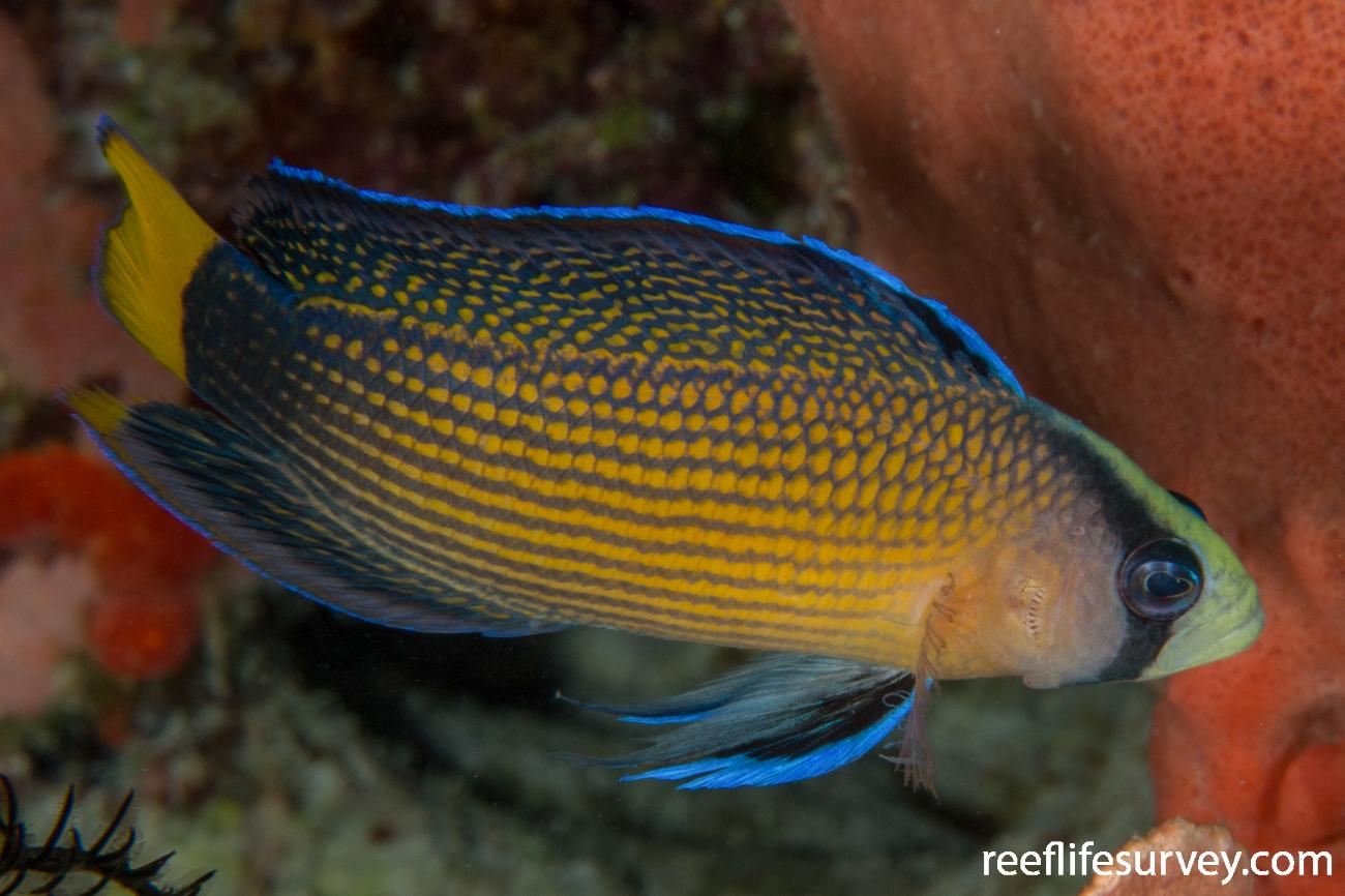 Manonichthys splendens, Raja Ampat, Indonesia,  Photo: Rick Stuart-Smith