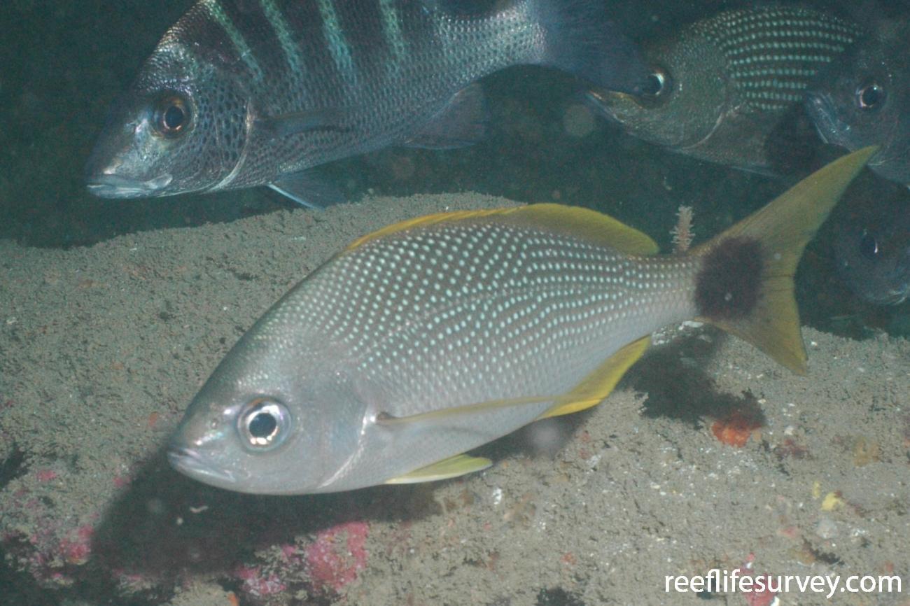 Haemulon flaviguttatum, Coiba, Panama,  Photo: Graham Edgar