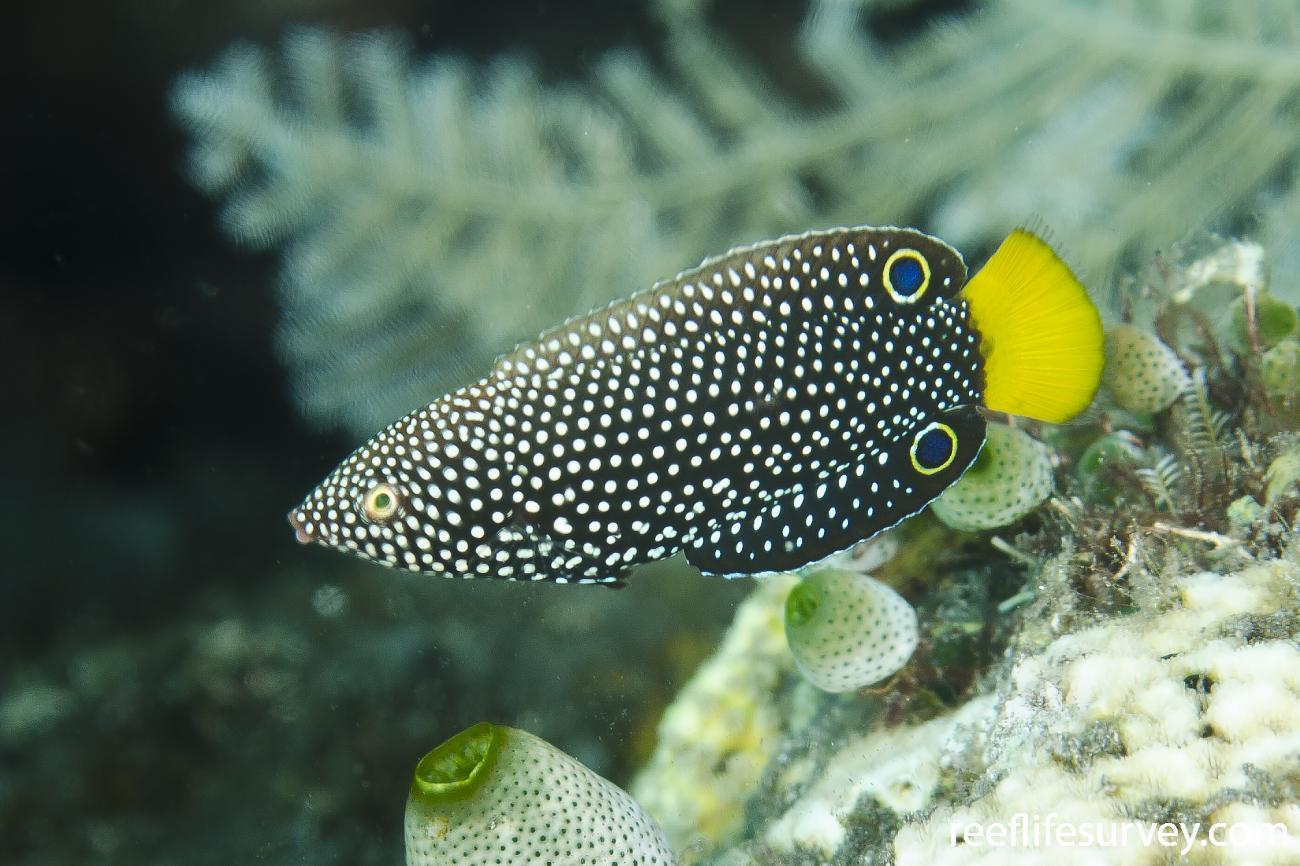 Anampses Meleagrides Speckled Wrasse Reeflifesurvey Com