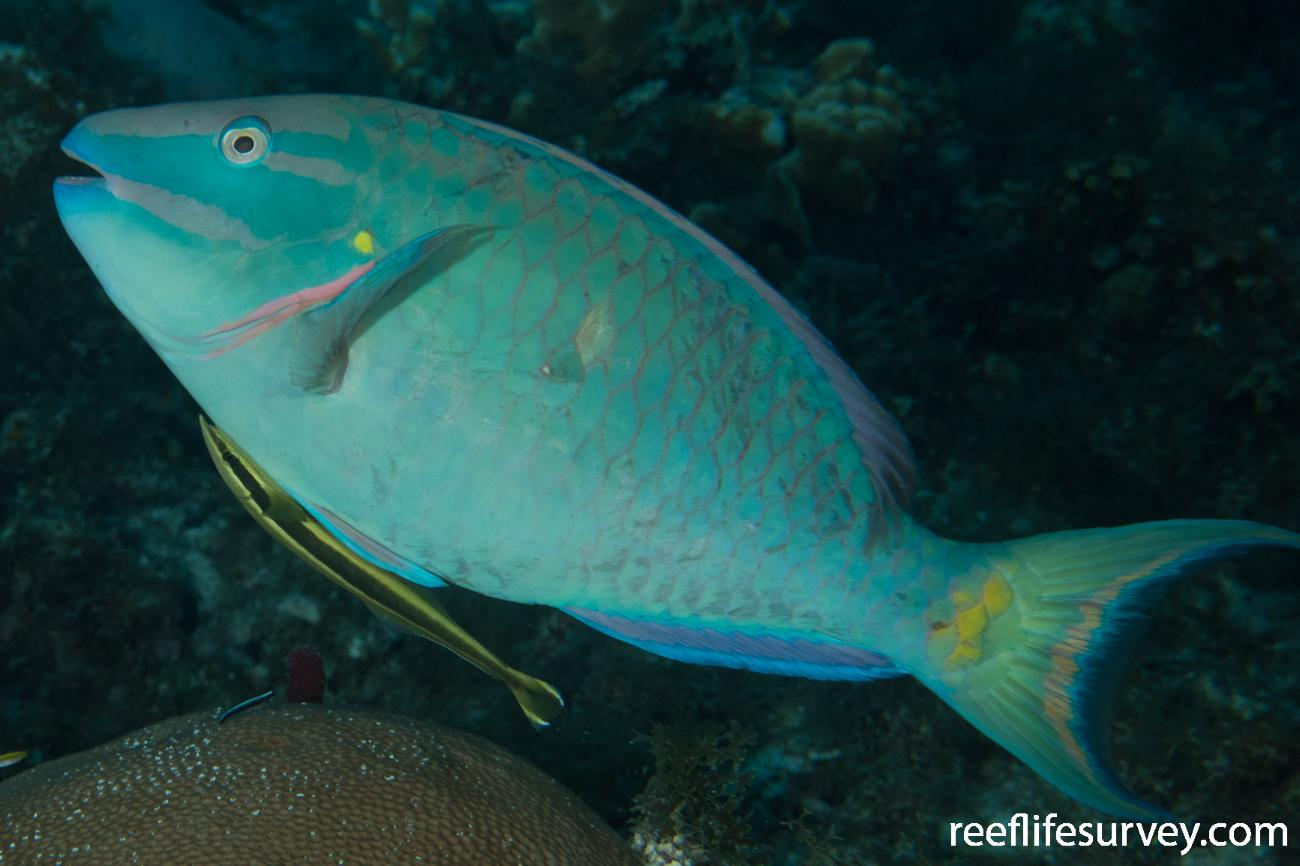 Sparisoma viride, Male, Belize,  Photo: Rick Stuart-Smith
