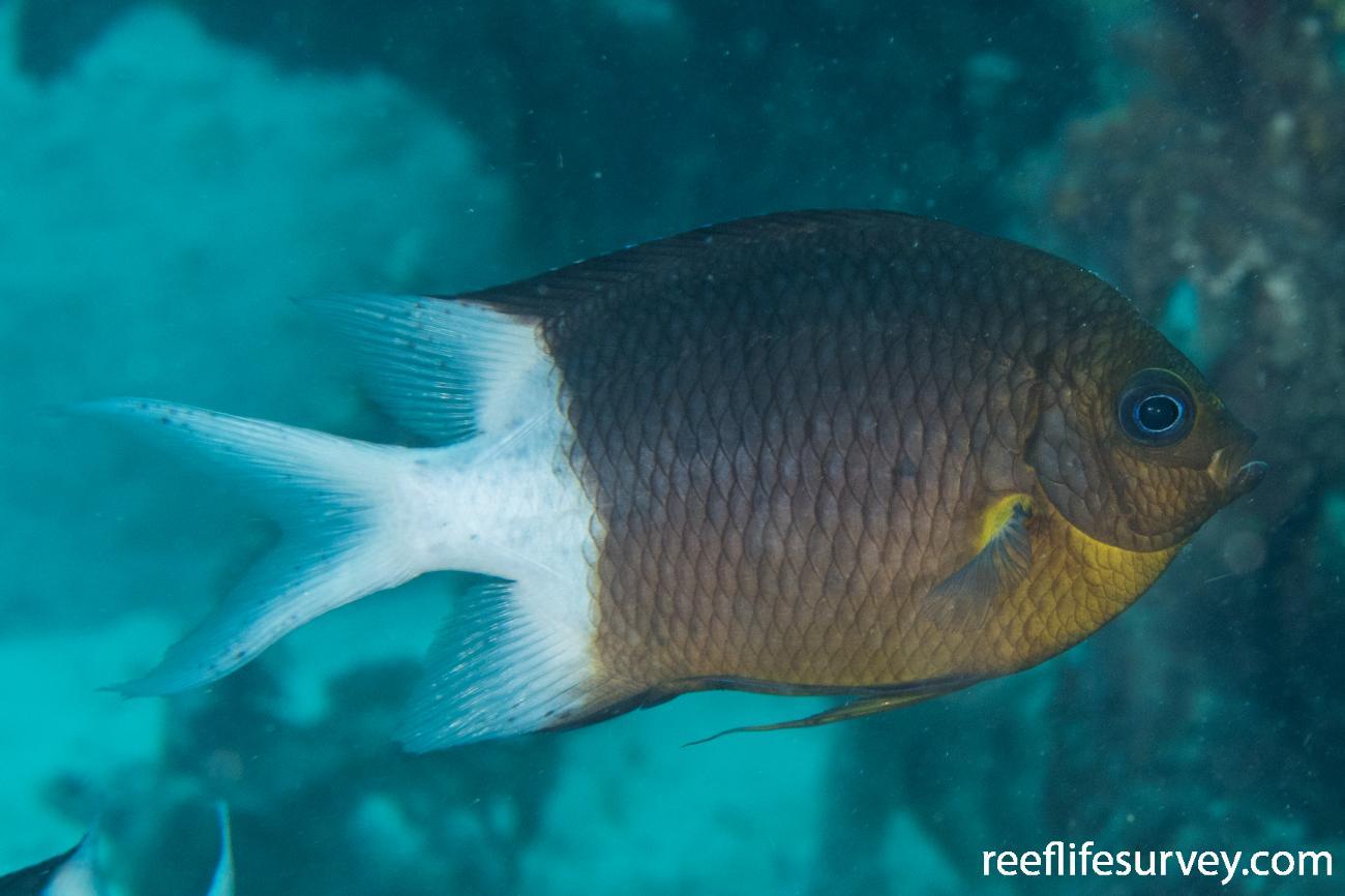 Acanthochromis polyacanthus, QLD, Australia,  Photo: Rick Stuart-Smith