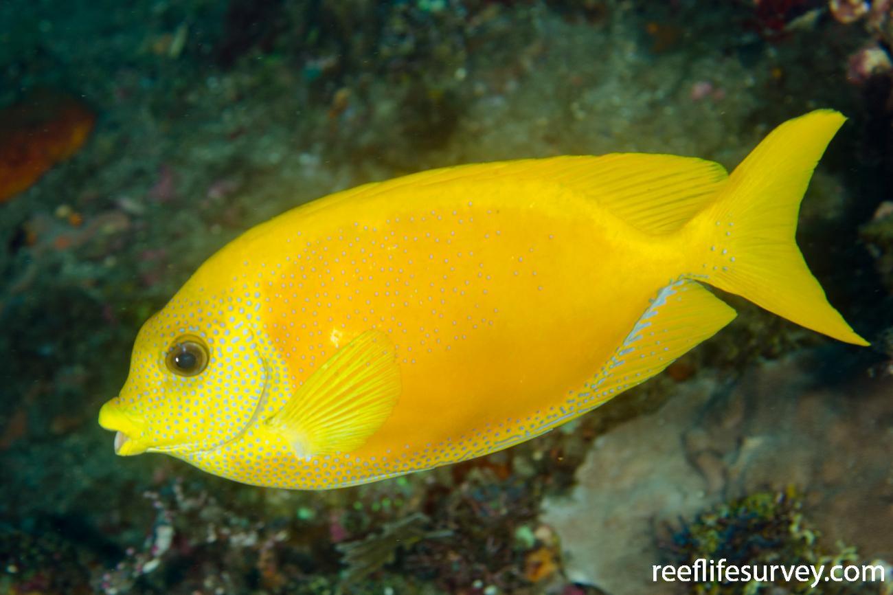 Siganus corallinus, Adult, Bali, Indonesia,  Photo: Ian Shaw