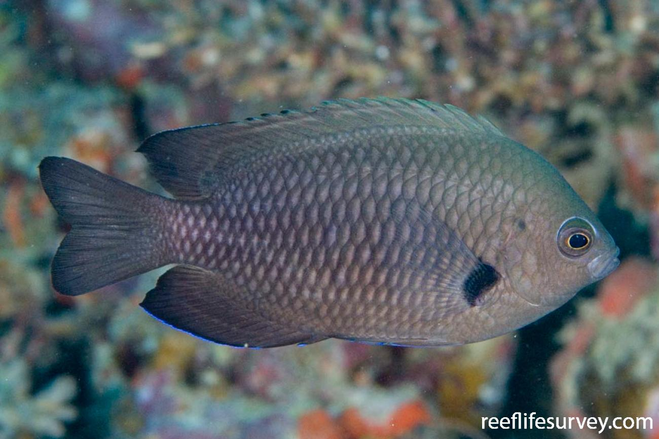 Pomacentrus brachialis, Adult, Naigani Is, Fiji,  Photo: Andrew Green