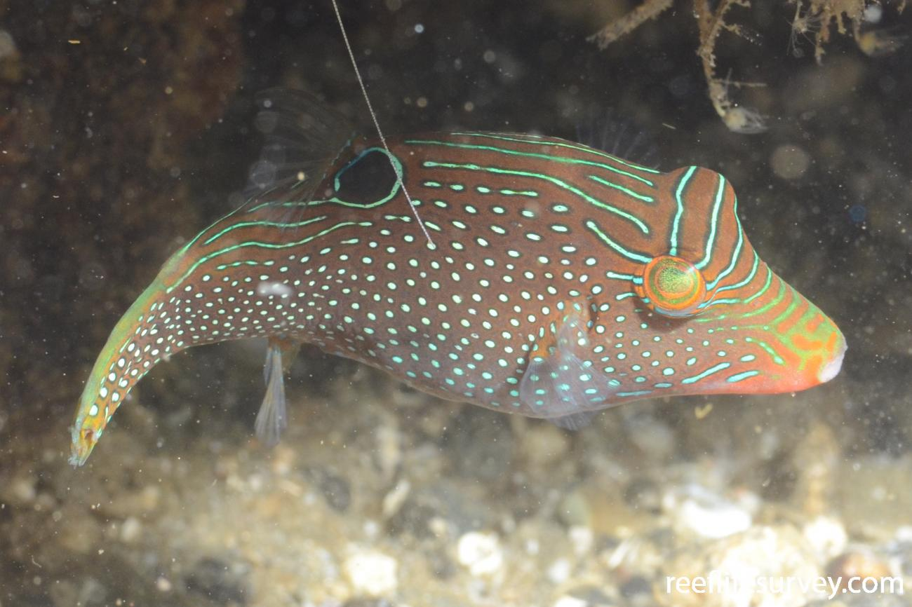 Canthigaster papua, Adult, Ambon Harbour, Indonesia,  Photo: Joe Shields