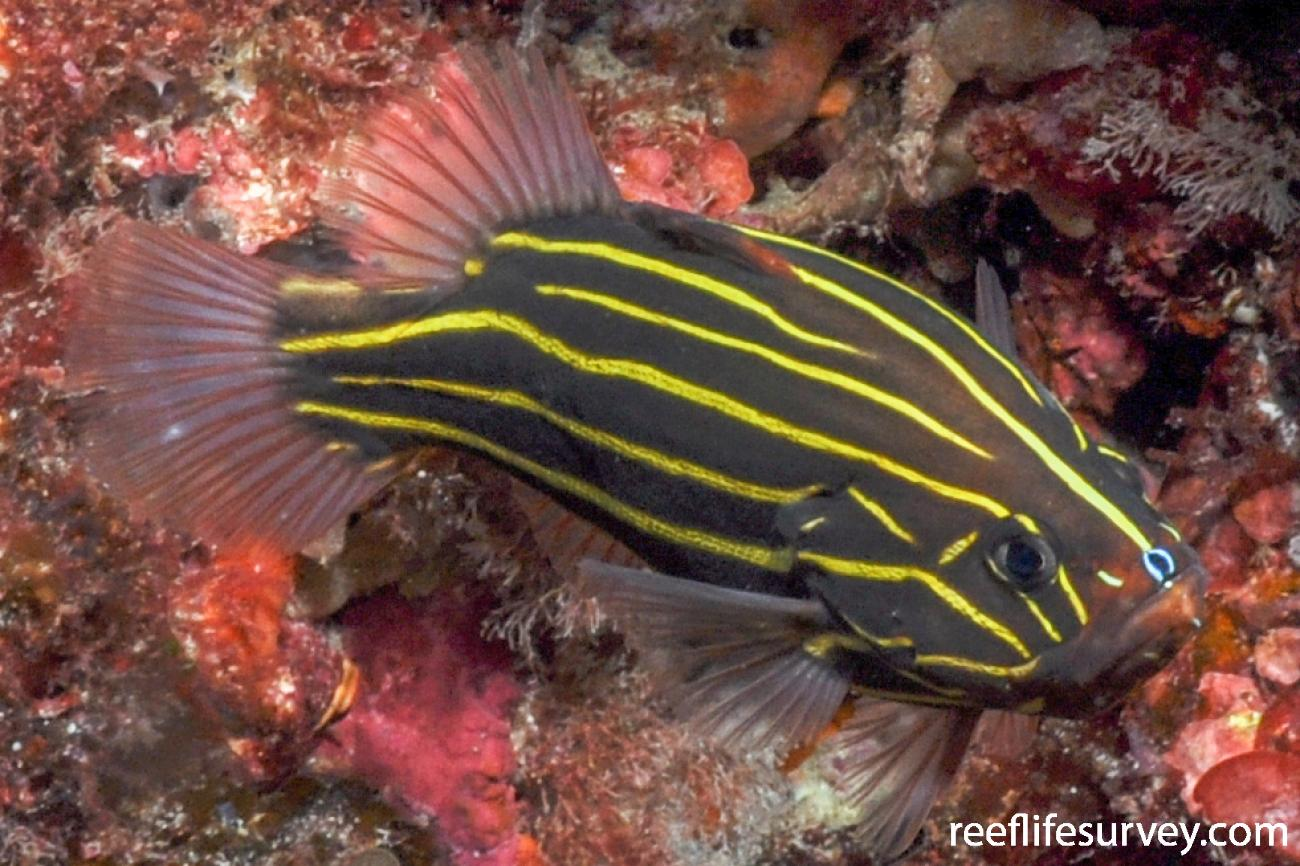 Grammistes sexlineatus, Lord Howe Is, Australia,  Photo: Rick Stuart-Smith