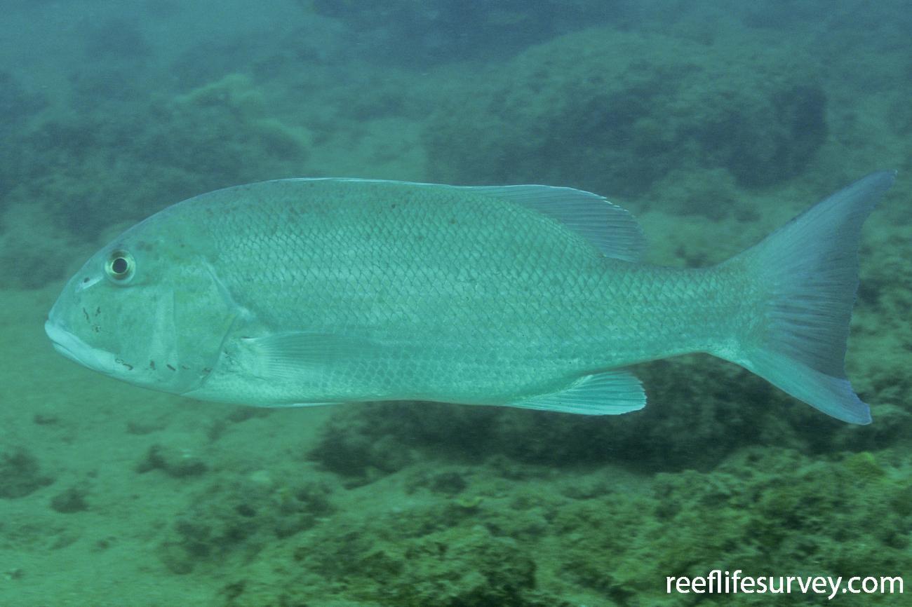 Symphorus nematophorus, Mornington Island, QLD,  Photo: Rick Stuart-Smith