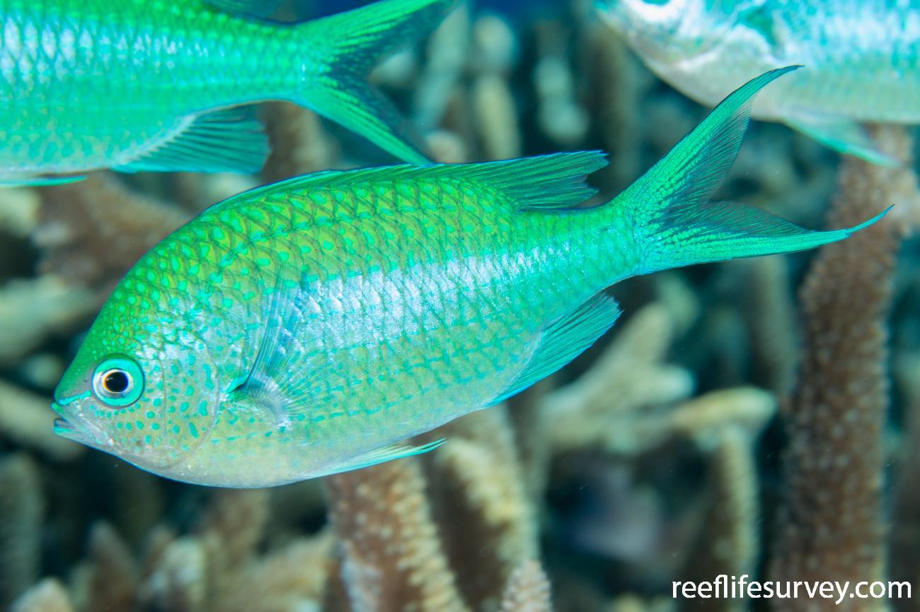 Chromis atripectoralis, Coral Sea, Australia,  Photo: Rick Stuart-Smith
