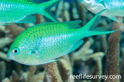 Chromis atripectoralis: Coral Sea, Australia,  Photo: Rick Stuart-Smith