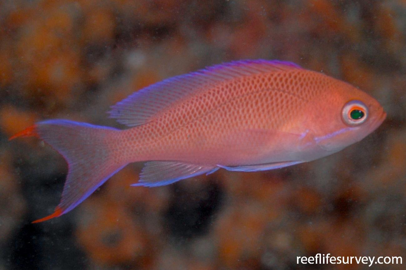 Pseudanthias rubrizonatus, Female, NSW, Australia,  Photo: Tom Davis