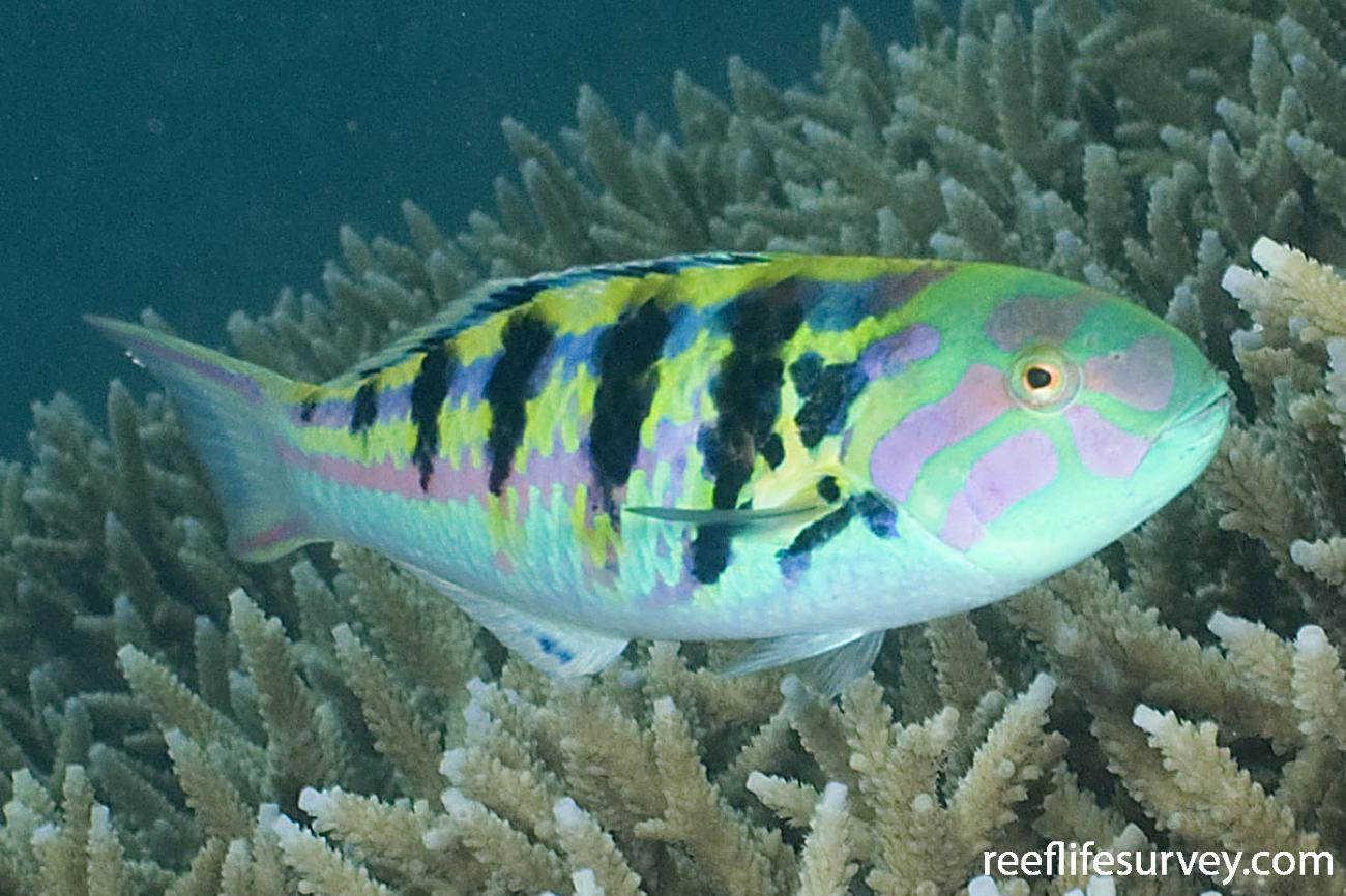 Thalassoma hardwicke, Adult, Lord Howe Is, NSW,  Photo: Andrew Green