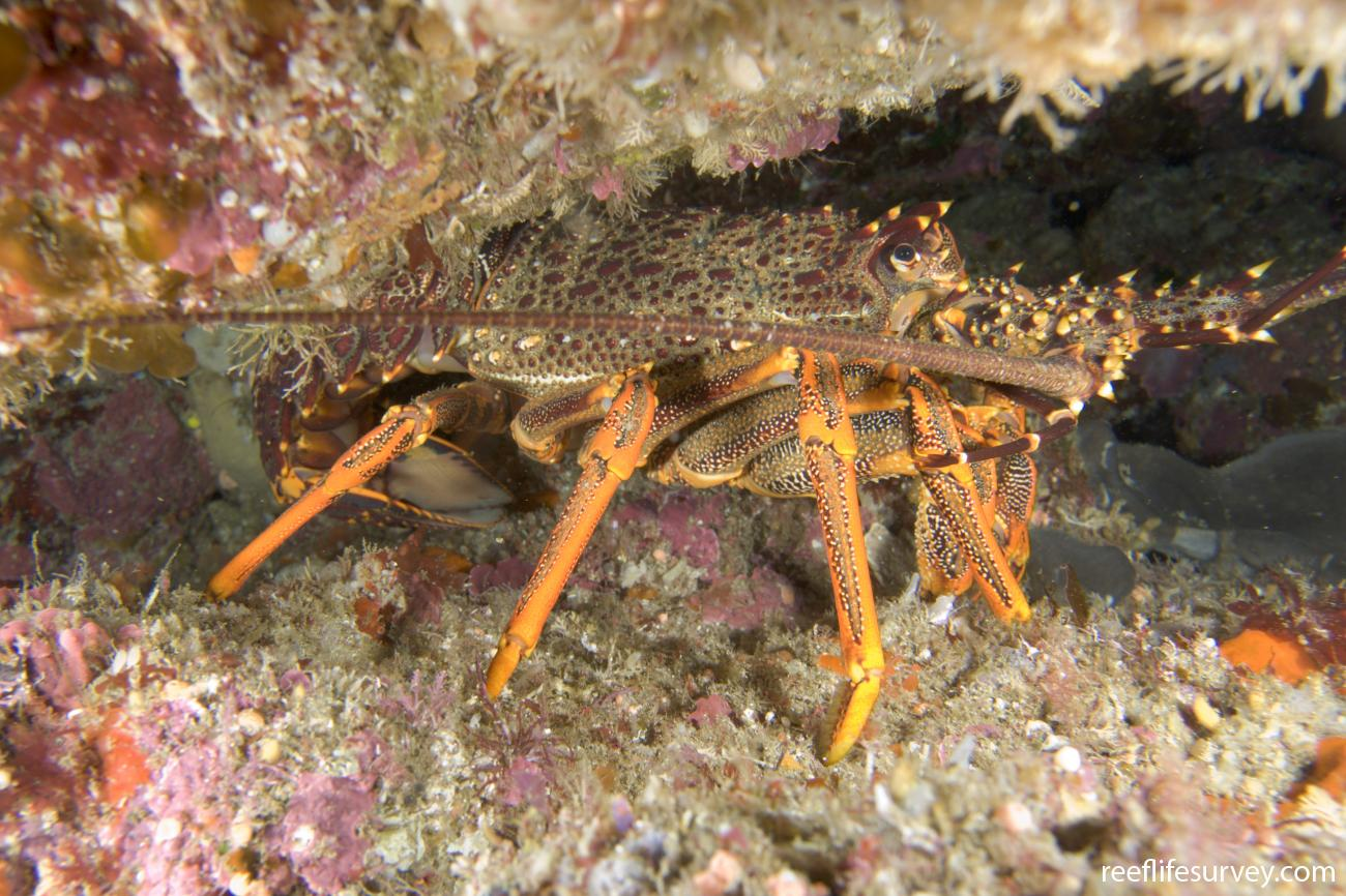 Jasus edwardsii, Poor Knights Is, New Zealand,  Photo: Andrew Green
