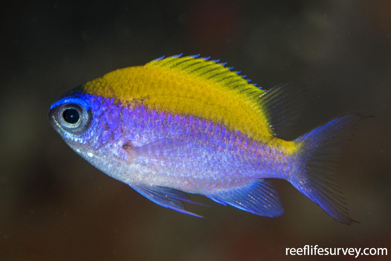 Chromis insolata, Belize,  Photo: Rick Stuart-Smith