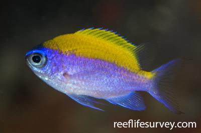 Chromis insolata: Belize,  Photo: Rick Stuart-Smith