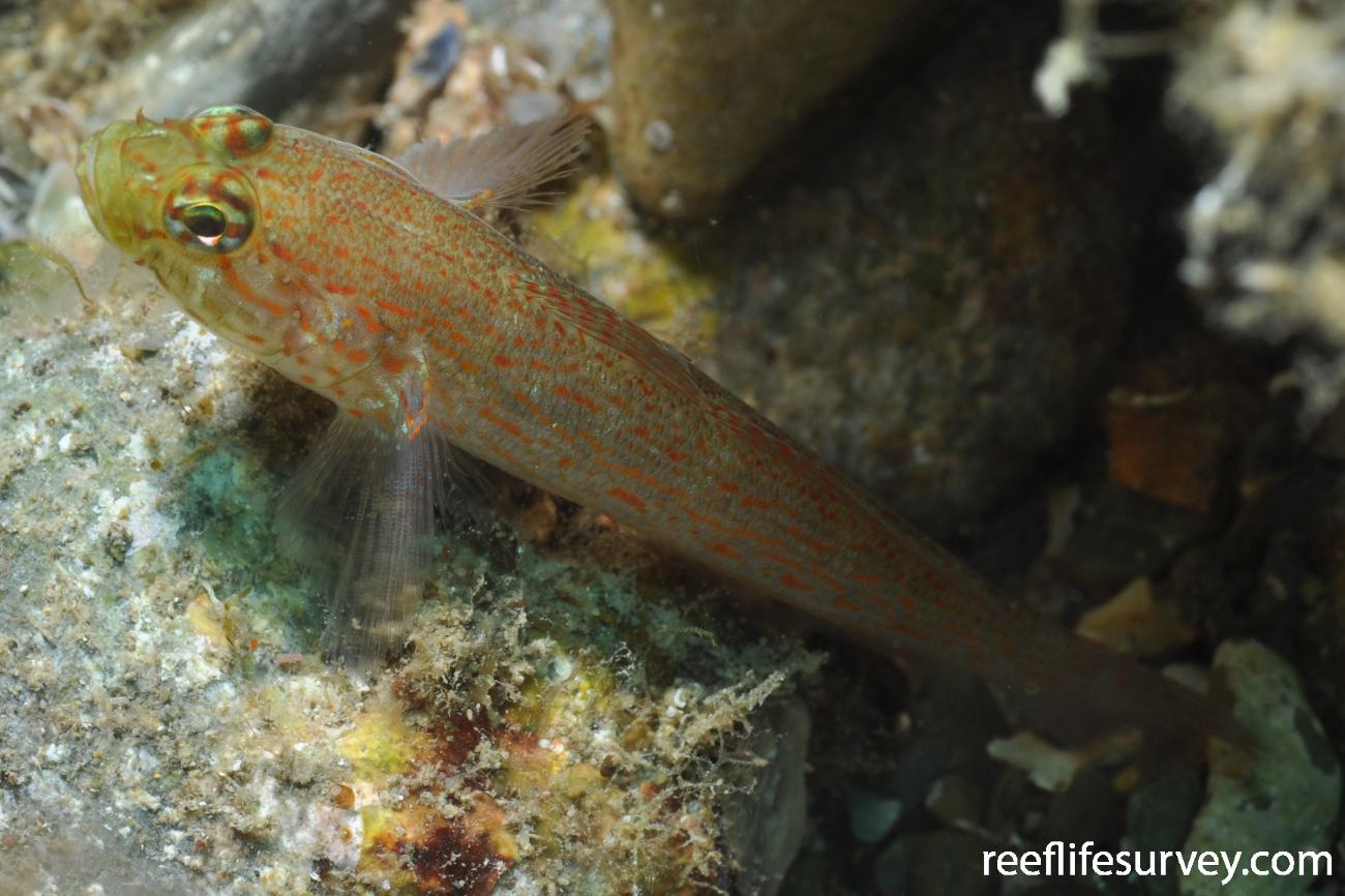 Gobius xanthocephalus, Banyuls-sur-Mer,  Photo: Rick Stuart-Smith