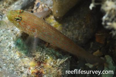 Gobius xanthocephalus: Banyuls-sur-Mer,  Photo: Rick Stuart-Smith