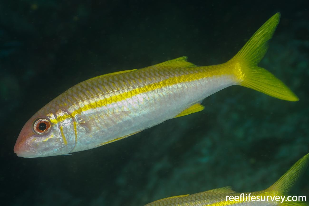 Mulloidichthys vanicolensis, Adult, NSW, Australia,  Photo: Ian Shaw