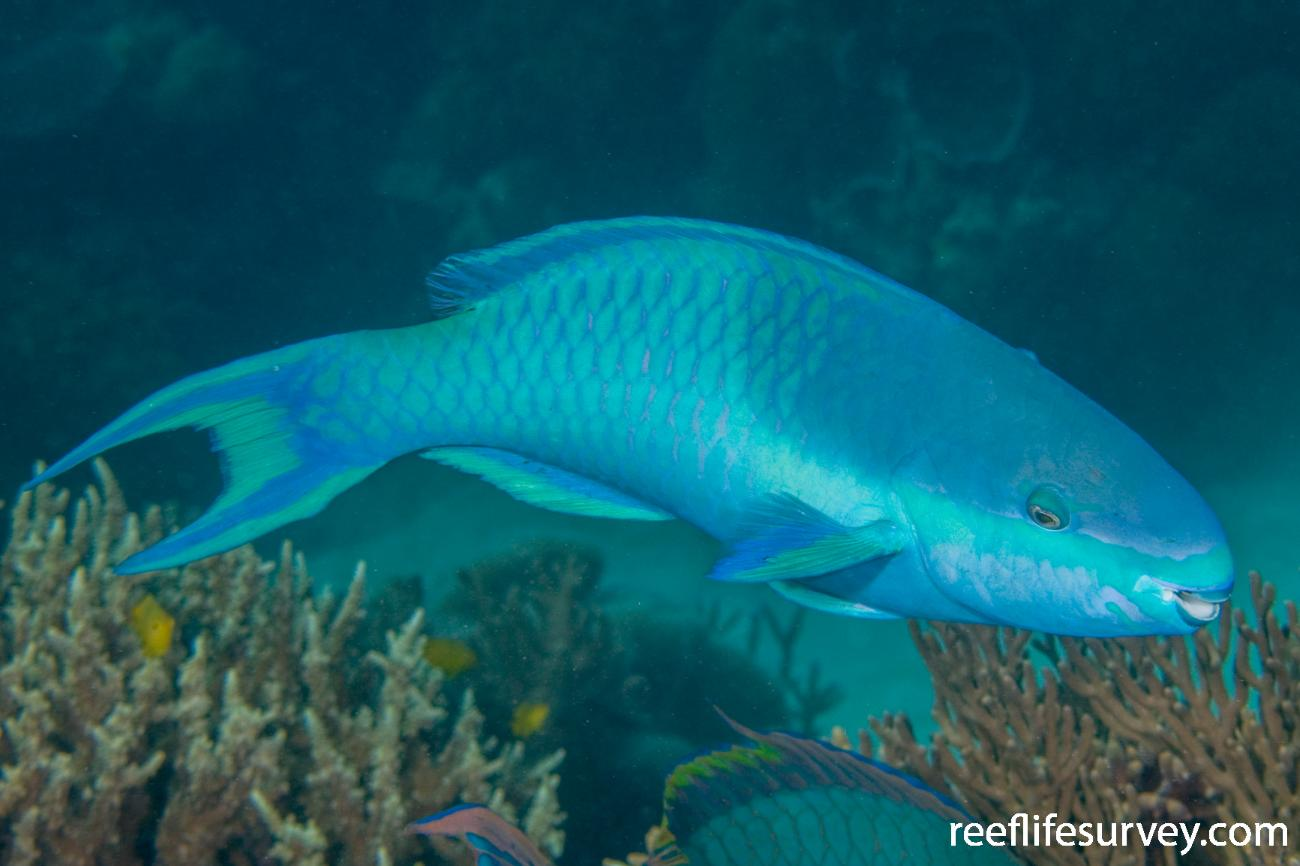 Scarus oviceps, Male, Great Barrier Reef, Cairns, QLD,  Photo: Andrew Green