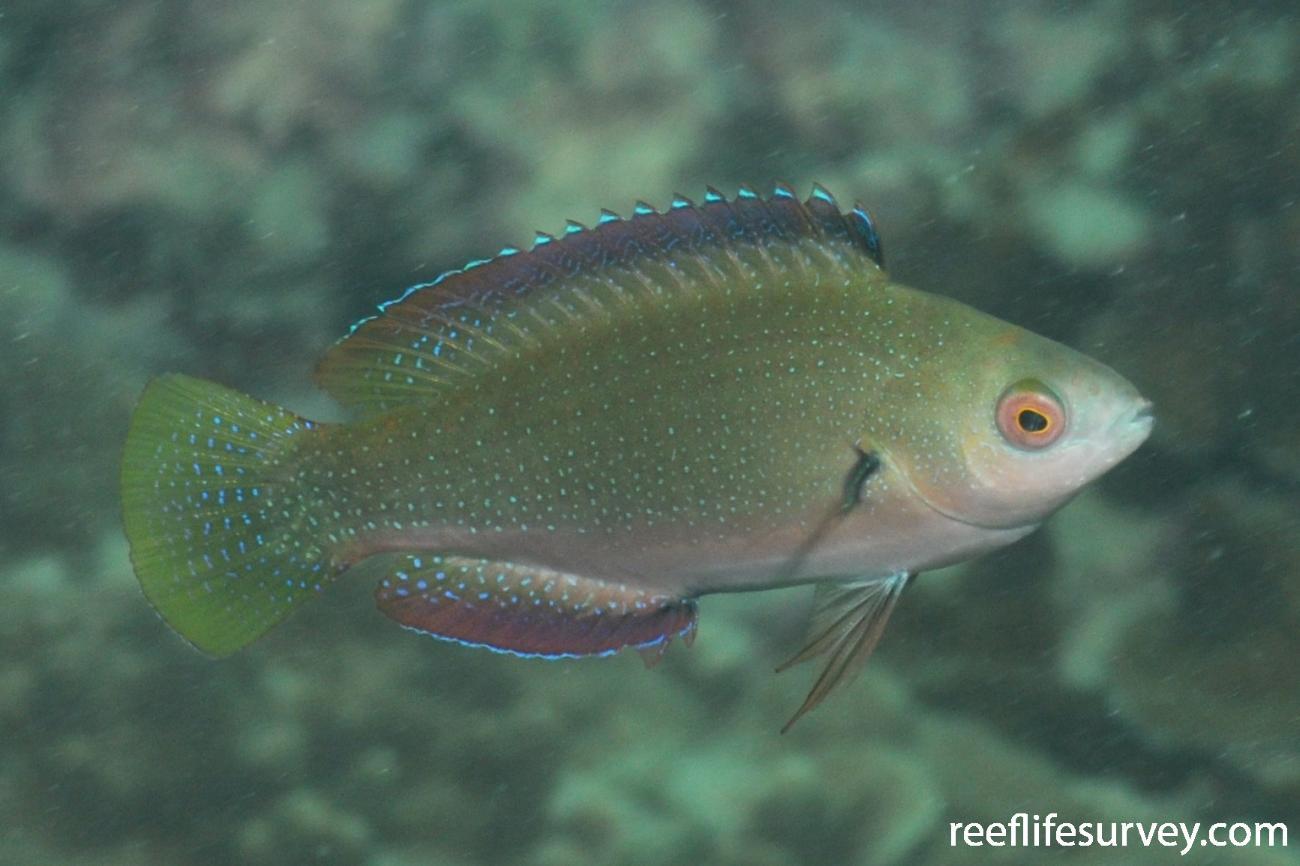 Cirrhilabrus punctatus, Female, NSW, Australia,  Photo: Rick Stuart-Smith