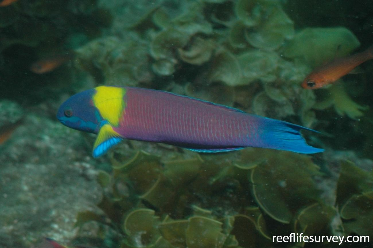 Thalassoma lucasanum, Male, Galapagos Islands, Ecuador,  Photo: Graham Edgar