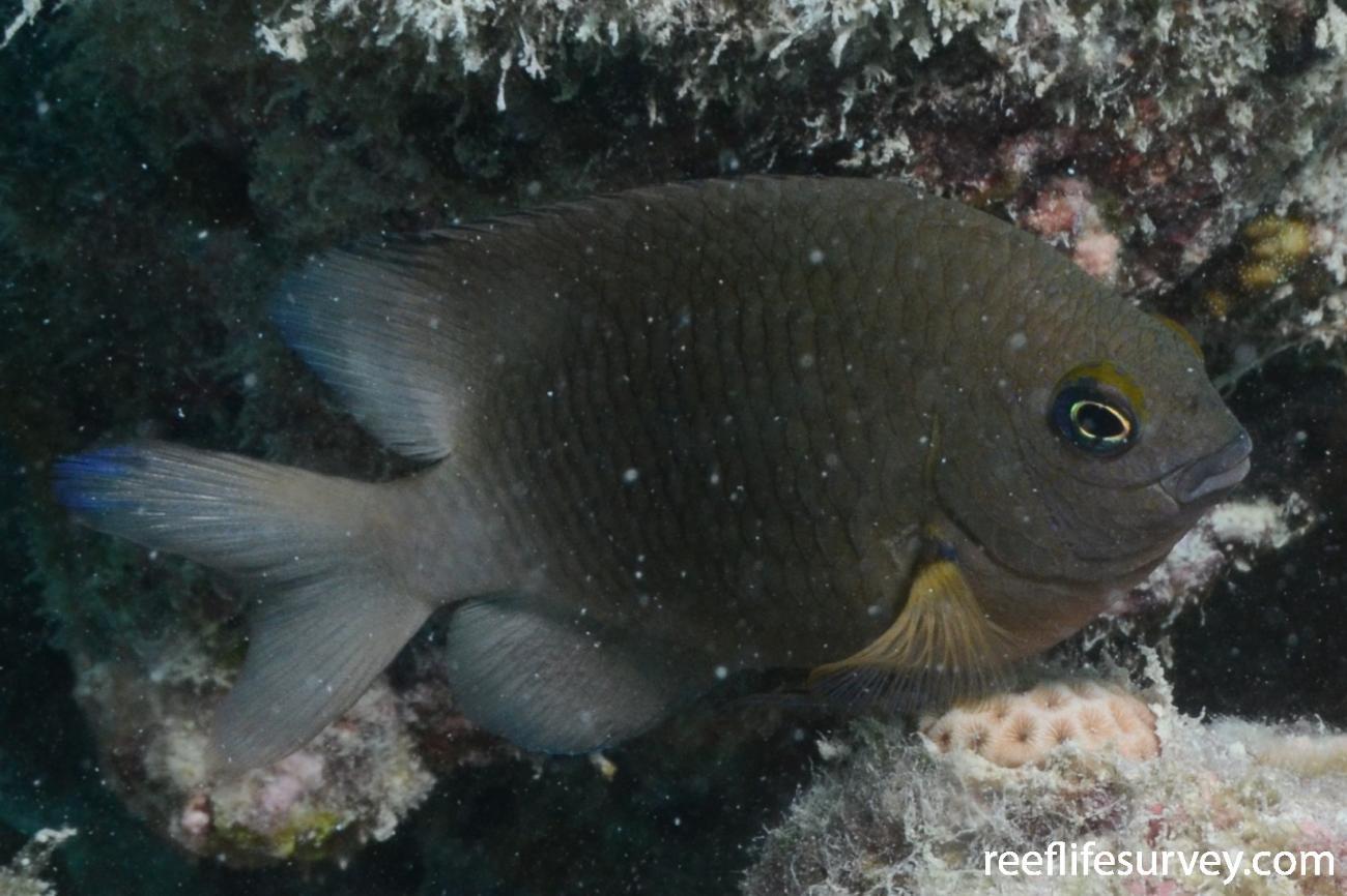 Stegastes fuscus, Adult, Abrolhos Islands, Brazil,  Photo: Graham Edgar