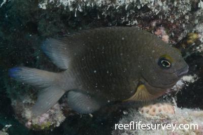 Stegastes fuscus: Adult, Abrolhos Islands, Brazil,  Photo: Graham Edgar