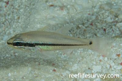 Pristiapogon exostigma: Adult.  Photo: Rick Stuart-Smith