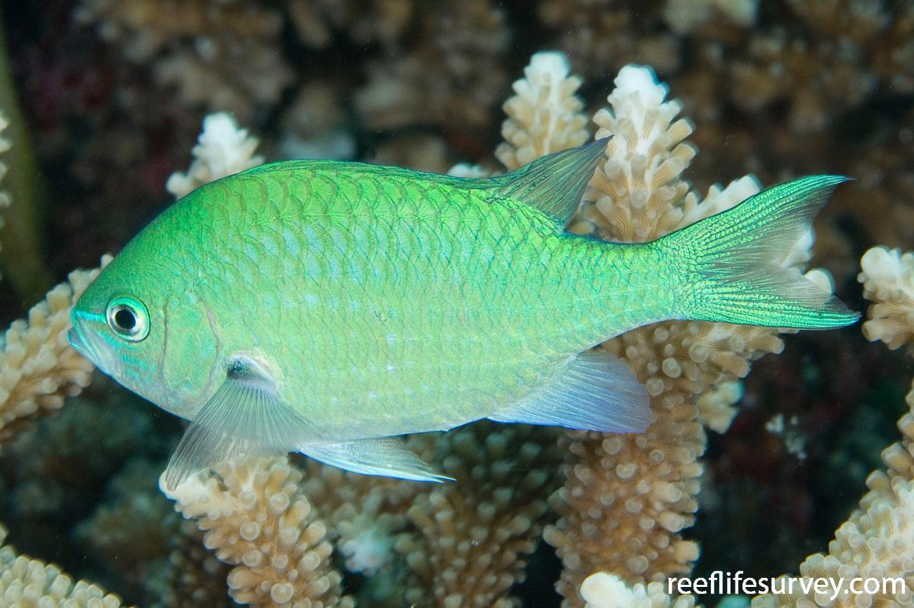 Chromis viridis, Adult, Naigani Is, Fiji,  Photo: Andrew Green