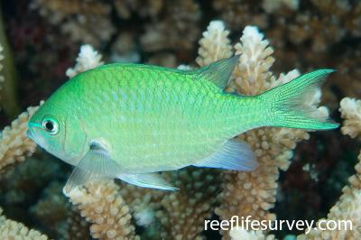 Chromis viridis: Adult, Naigani Is, Fiji,  Photo: Andrew Green