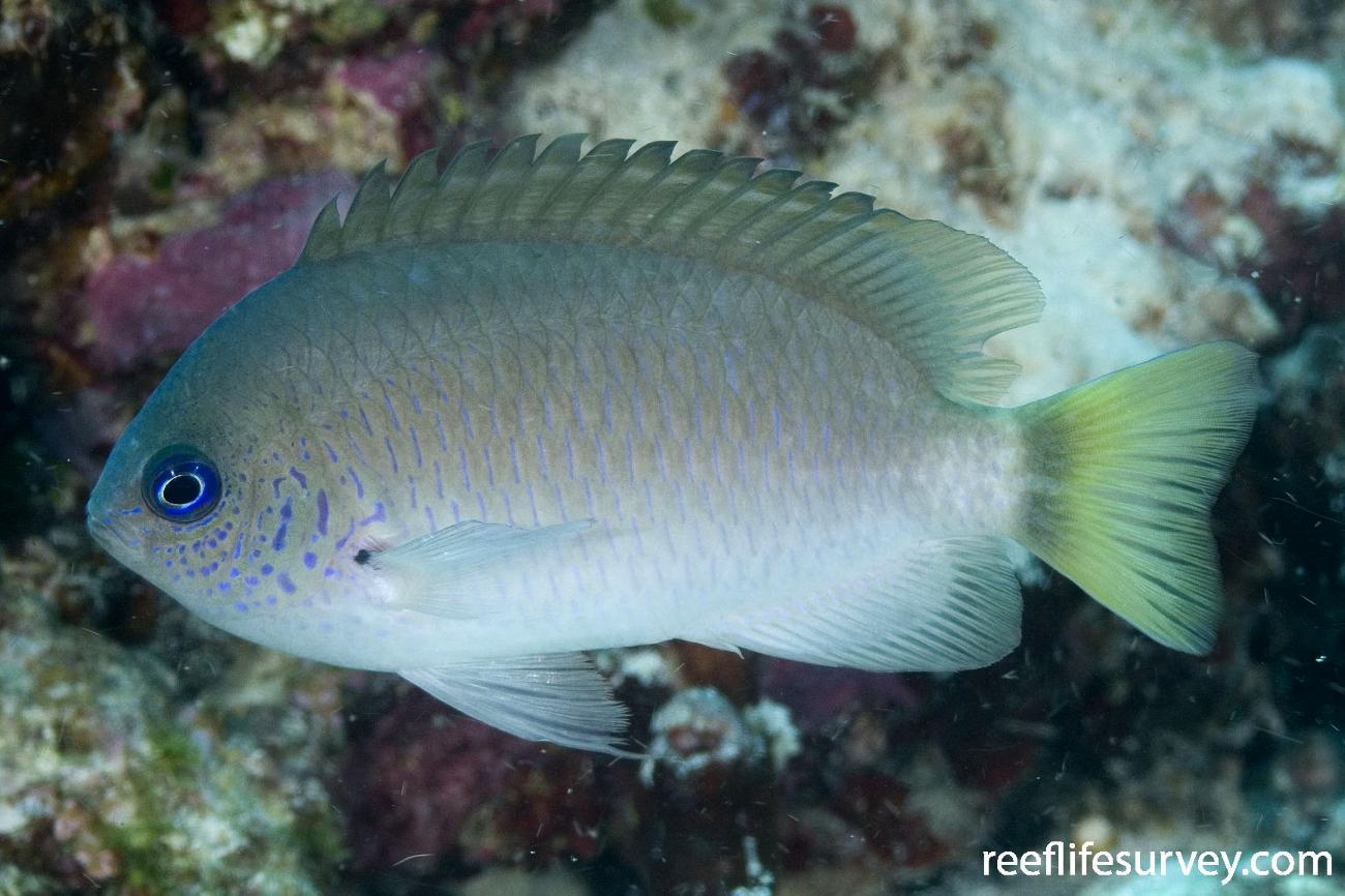 Pomacentrus reidi, Adult, Coral Sea, QLD,  Photo: Andrew Green