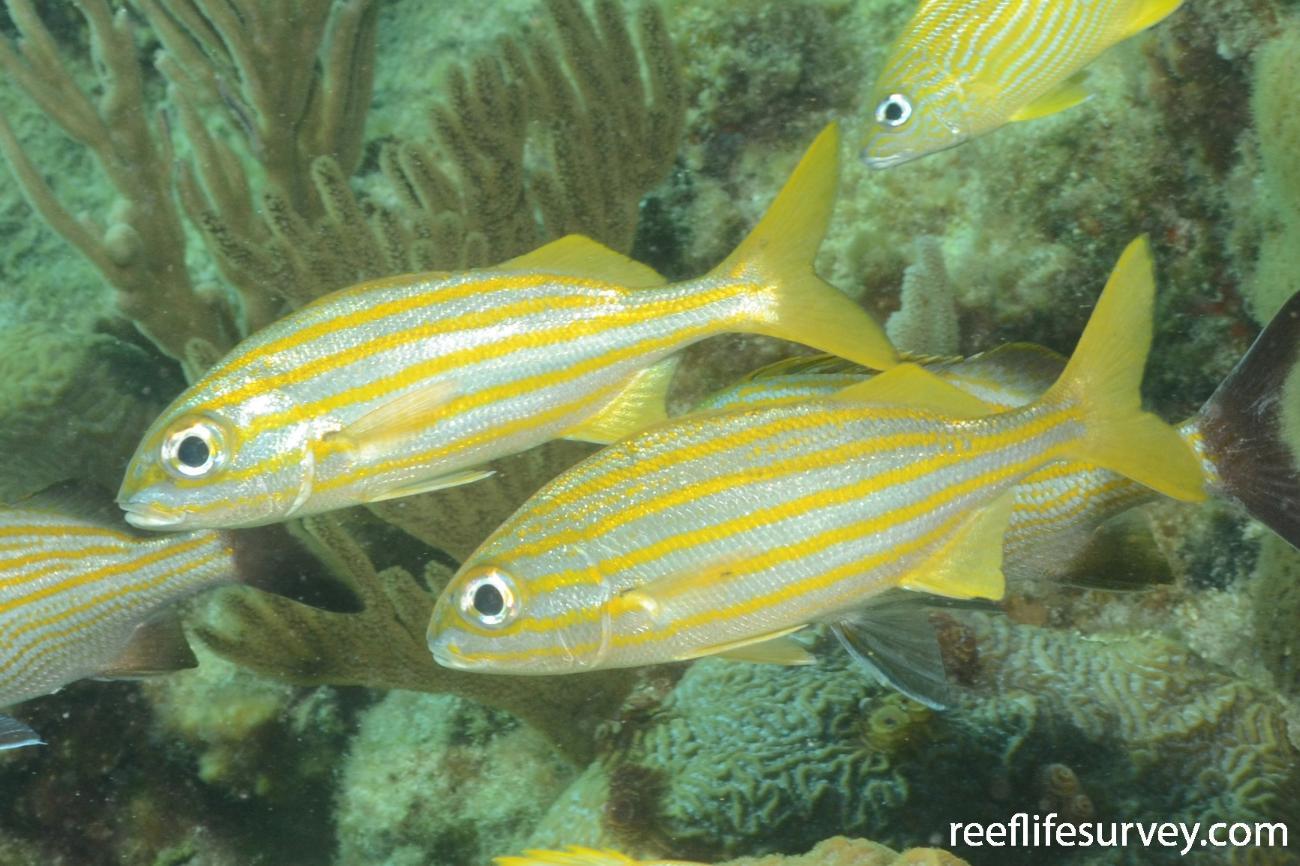 Haemulon chrysargyreum, Florida Keys, USA,  Photo: Graham Edgar