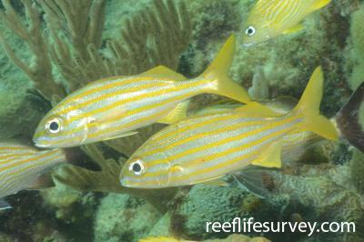 Haemulon chrysargyreum: Florida Keys, USA,  Photo: Graham Edgar