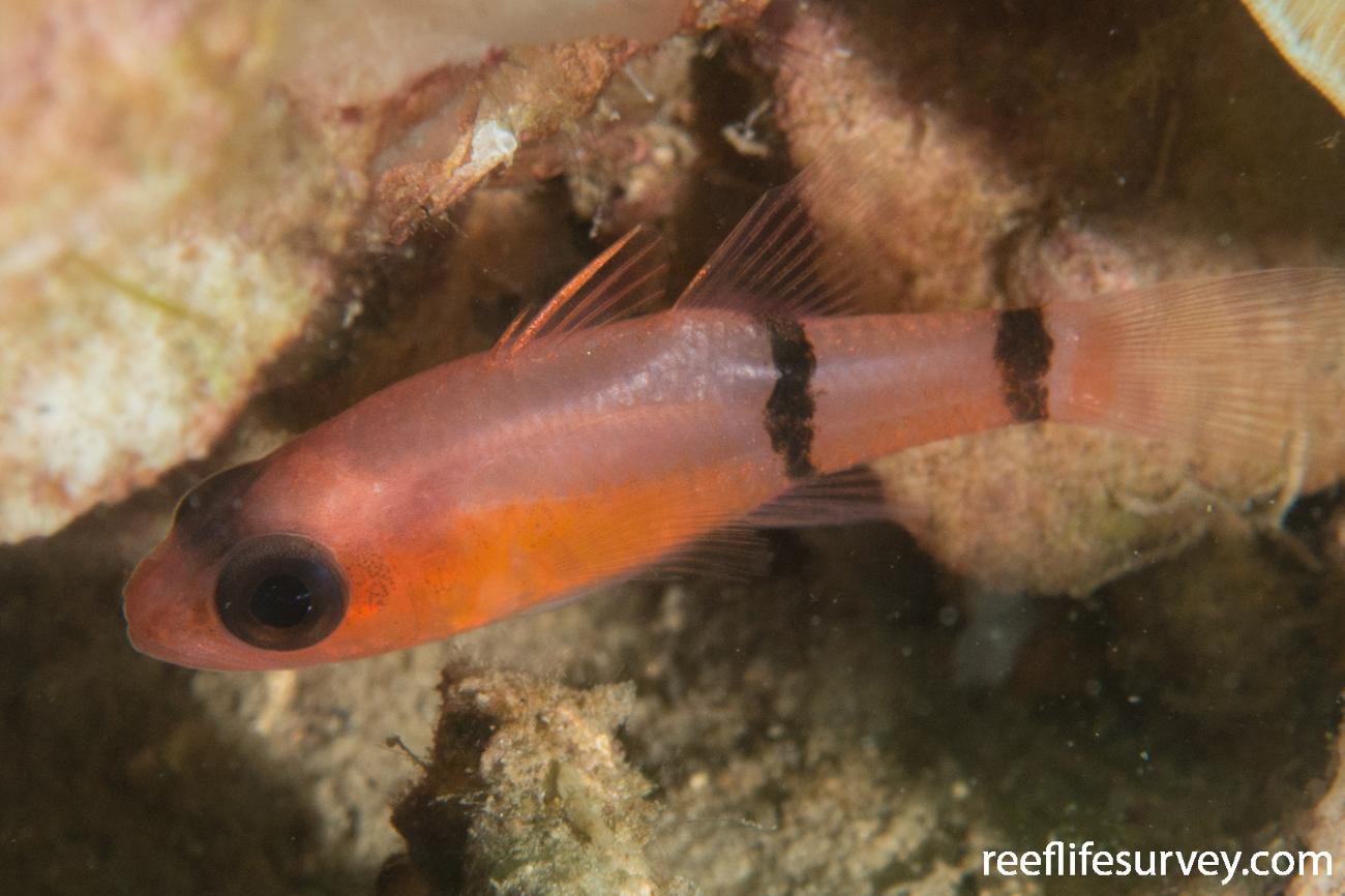Apogon binotatus, Bocas del Toro, Panama,  Photo: Rick Stuart-Smith