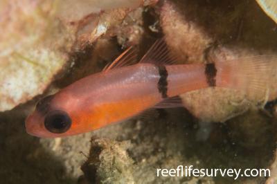 Apogon binotatus: Bocas del Toro, Panama,  Photo: Rick Stuart-Smith