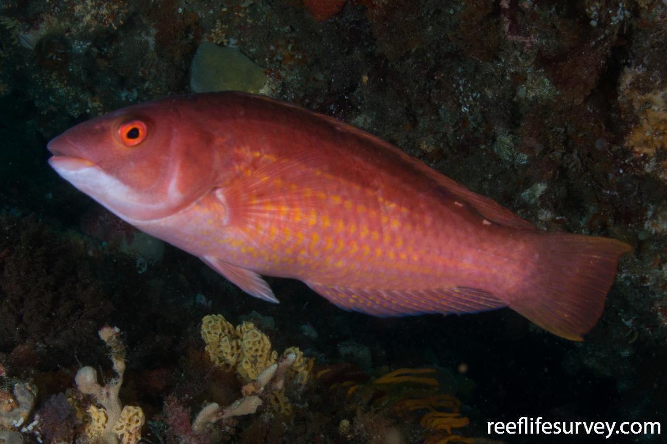 Pseudolabrus rubicundus, Bicheno, TAS,  Photo: Rick Stuart-Smith