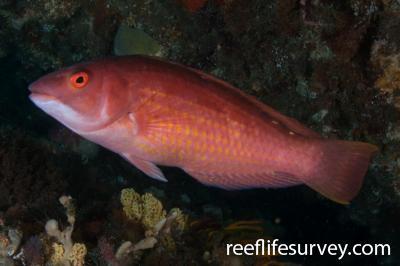Pseudolabrus rubicundus: Bicheno, TAS,  Photo: Rick Stuart-Smith