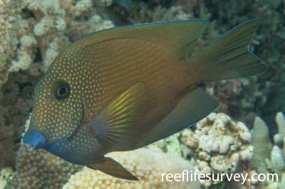 Ctenochaetus cyanocheilus: Adult, Coral Sea, Australia,  Photo: Rick Stuart-Smith