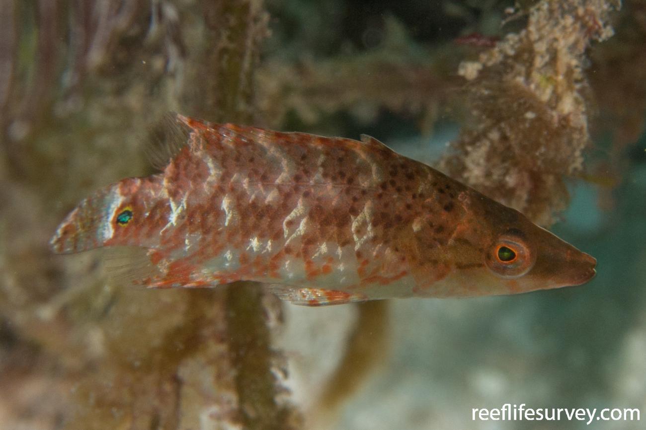 Oxycheilinus celebicus, Raja Ampat, Indonesia,  Photo: Rick Stuart-Smith